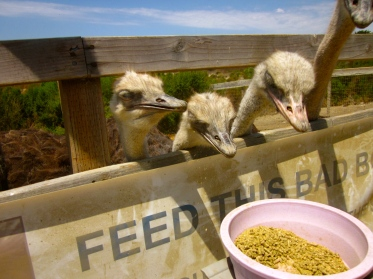 feeding-ostriches-at-ostrichland-usa-with-a-santa-barbara-limousine-rental-service-2016-ostrich-feed