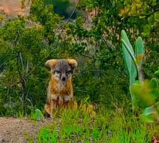 photo-channel-island-fox-on-santa-cruz-island-after-santa-ynez-wine-tour